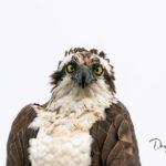 Osprey_6780