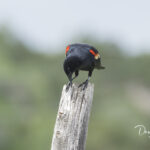 Red-winged Blackbird_7599