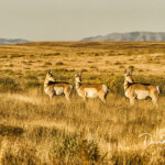 Three Pronghorns_3546