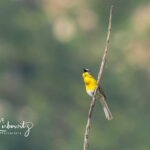 Yellow-breasted-Chat_6864