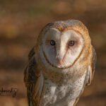 Barn-Owl_8541