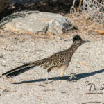 Greater-Roadrunner_7642