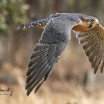 Aplomado-Falcon_9524