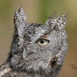 Eastern-Screech-Owl_9722