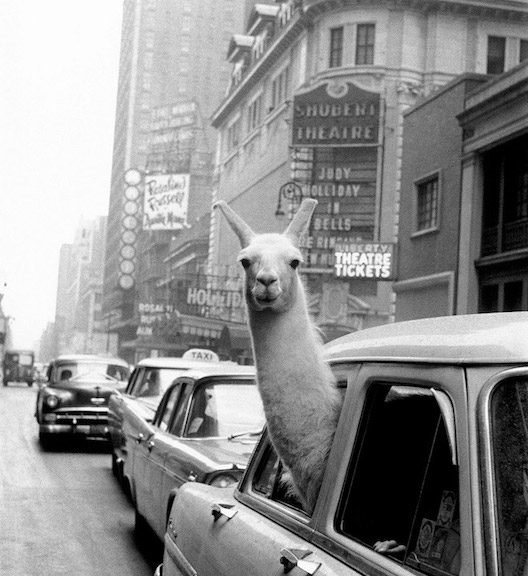 A Llama in Times Square, 1957. © Inge Morath/Magnum Photos