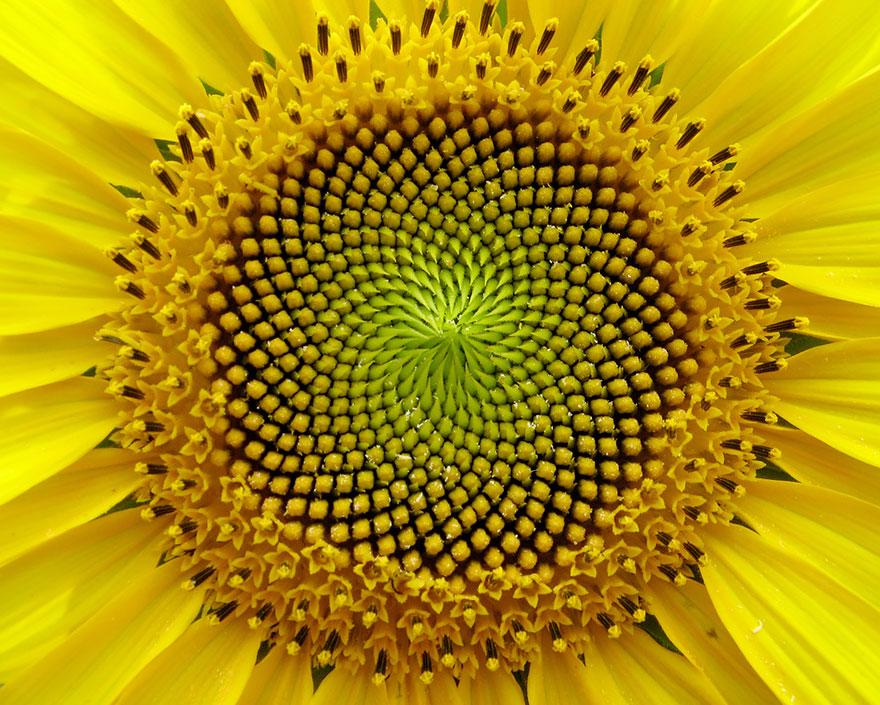 SacredGeometry_Sunflower
