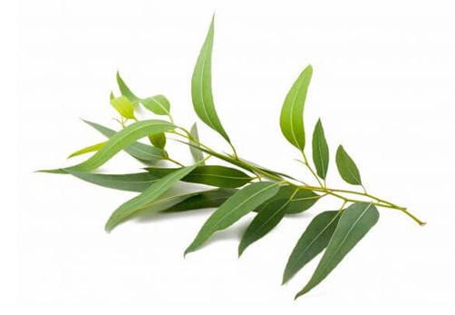 Everything_Soulful_Mood_Enhanging_Herbs_Eucalyptus2