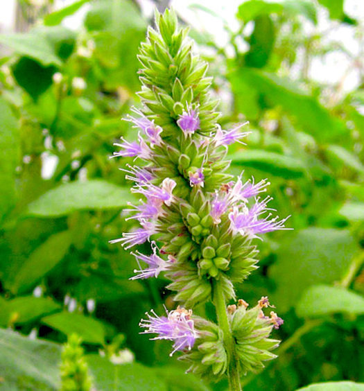 everything_soulful_patchouli_flower