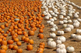 Orange/White Pumpkins Underwood Farms