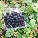 Blackberries-Clamshell