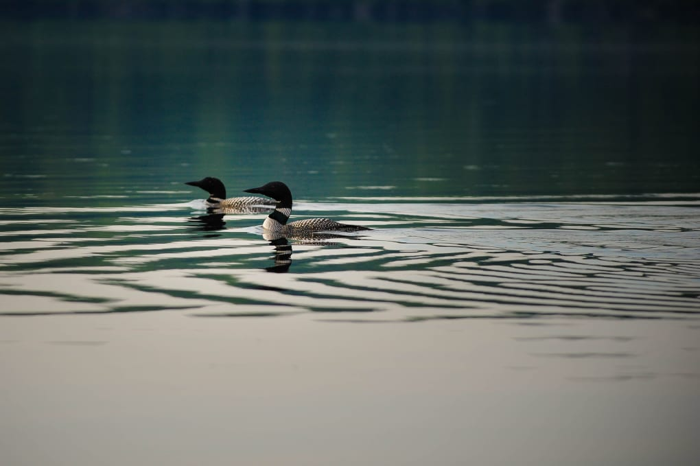 pair of loons swimming on black donald lake