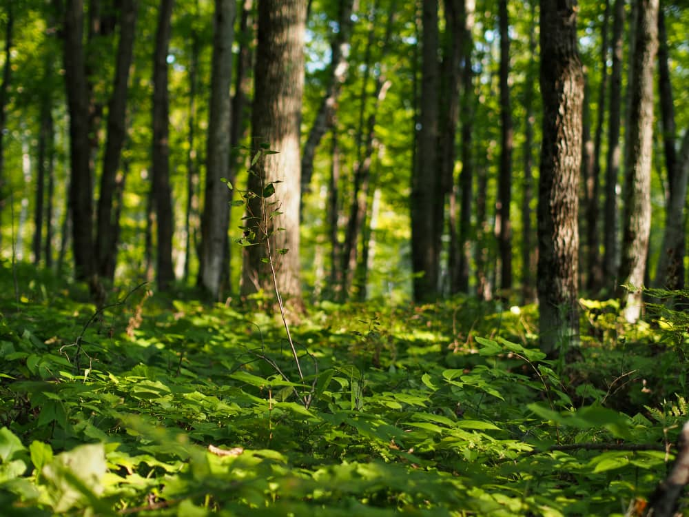 A sunny glade in the woods with maple trees and ferns