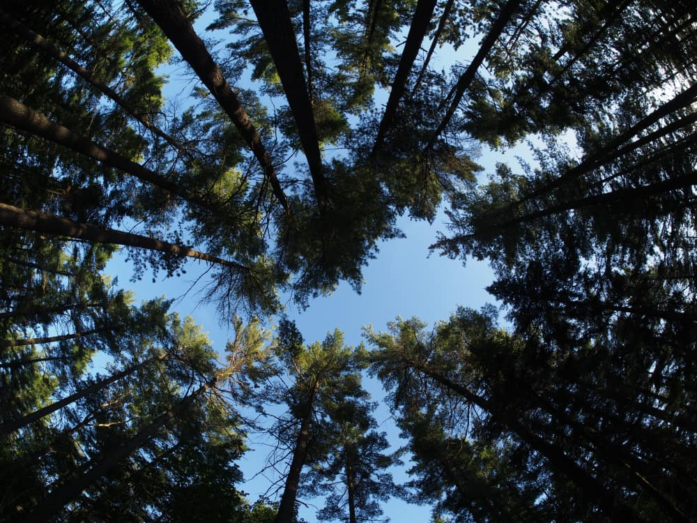 looking up at white pine treetops forming a circle in the sky