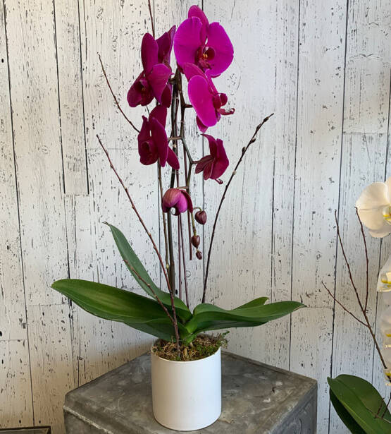 An image of a purple phalaenopsis orchid plant
