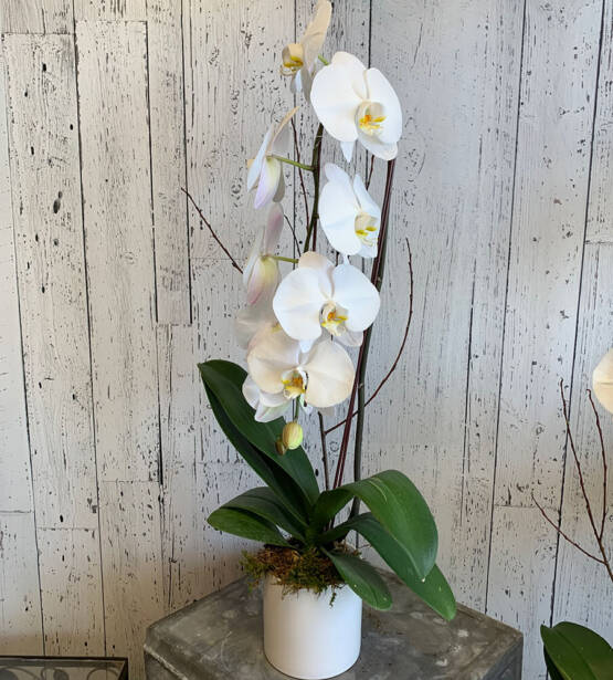 An image of a white phalaenopsis orchid plant