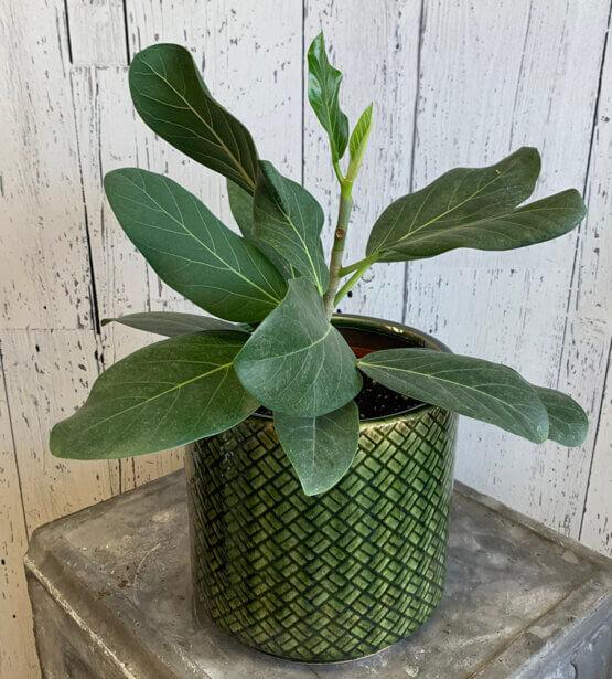 an image of a Ficus Audrey plant