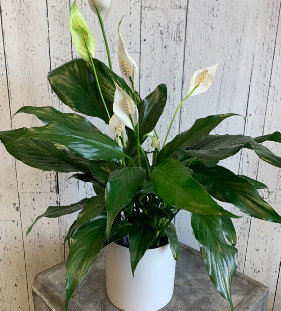 an image of a Spathiphyllum plant