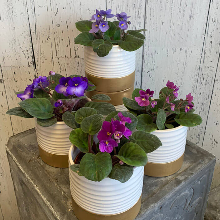 an image of 4 violet plants in pots