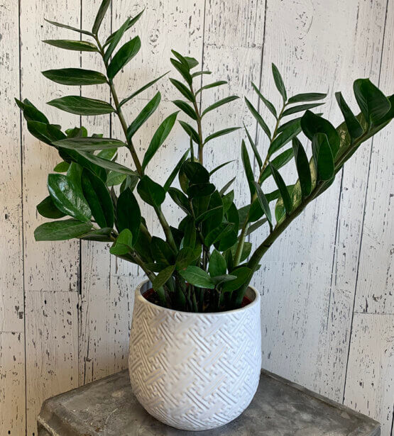 an image of a Zz Plant in a white pot