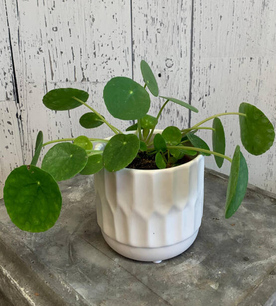 an image of a Pilea Chinese Money Tree