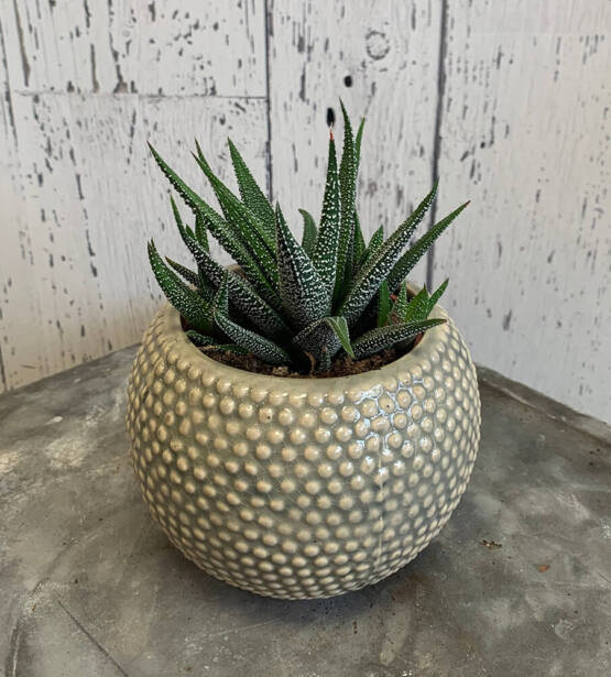 an image of a Haworthia plant in a pot