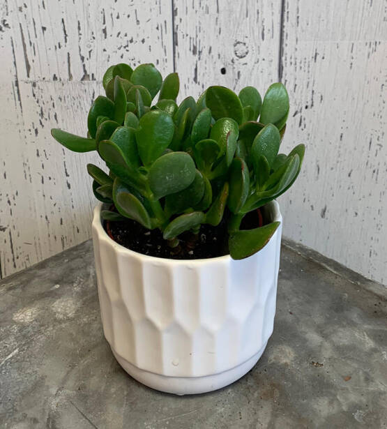 an image of a small Jade plant in a pot