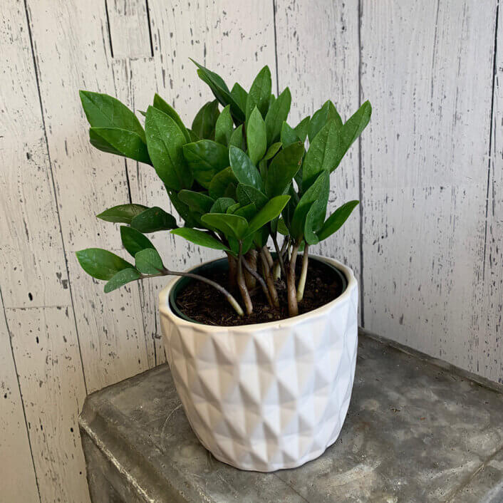 an image of a ZZ-plant in a pot
