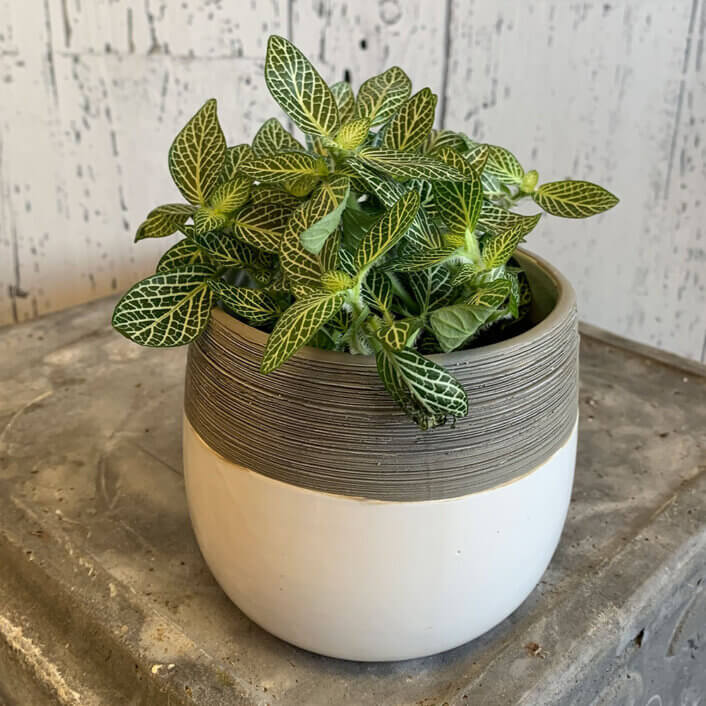 an image of a fittonia plant in a white and grey pot