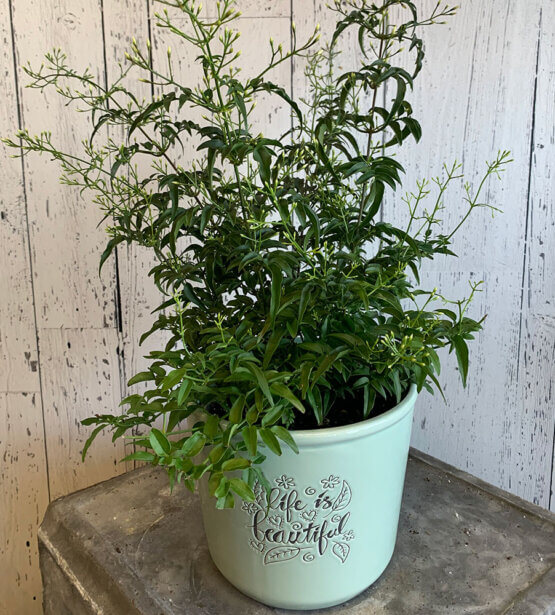 an image of a flowering jasmine plant in a blue pot