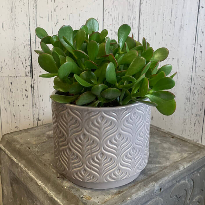 An image of a Jade plant in a grey pot