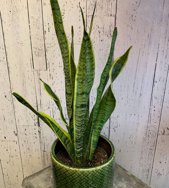 an image of a sansevieria plant in a green planter pot