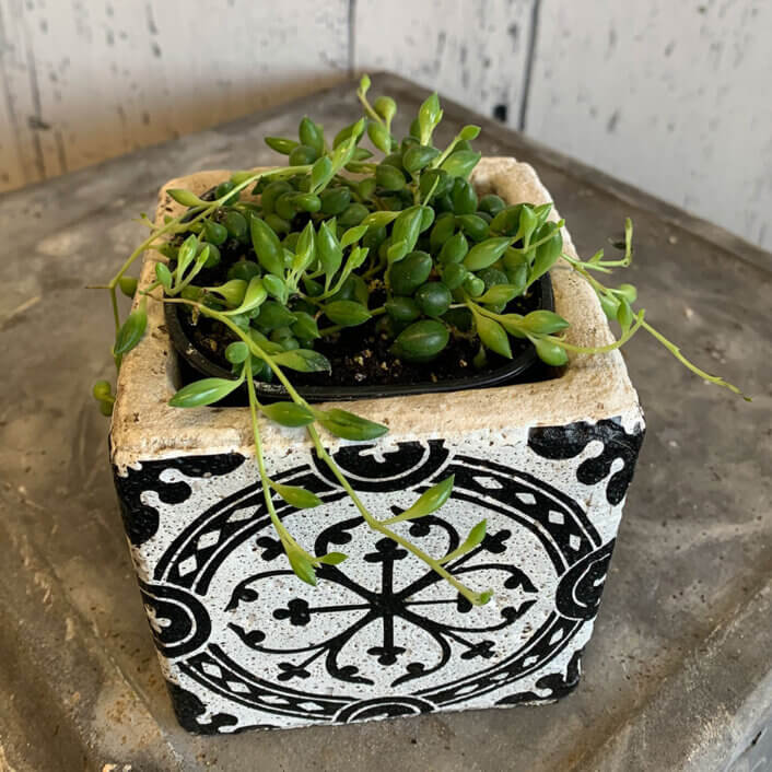 an image of a string of beads plant in a white pot with black design