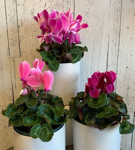 an image of a cyclamen plant