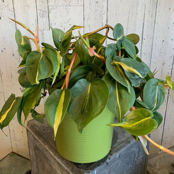 an image of a hanging Philodendron Brazil plant