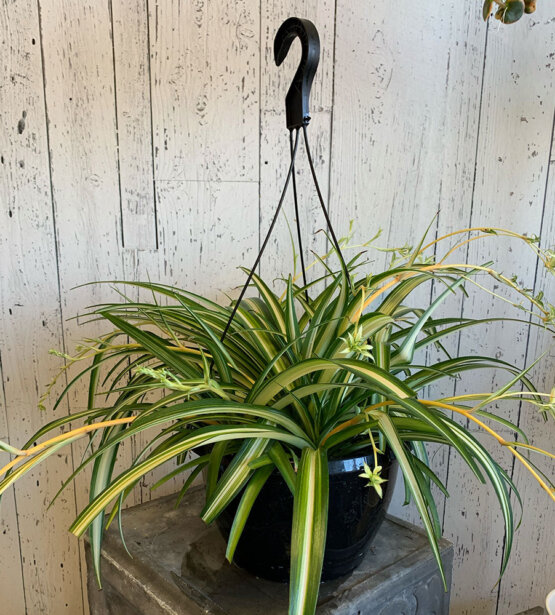 an image of a hanging spider plant