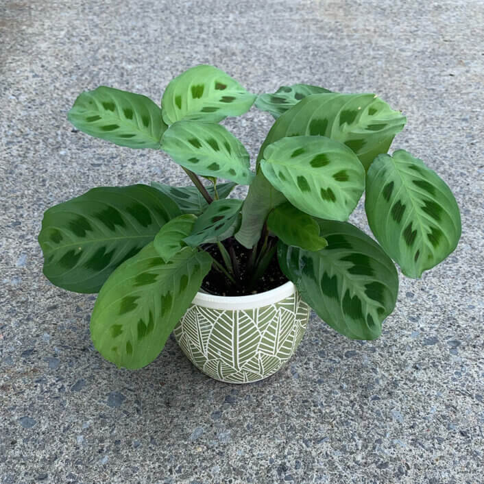 a Marantha plant in a white pot