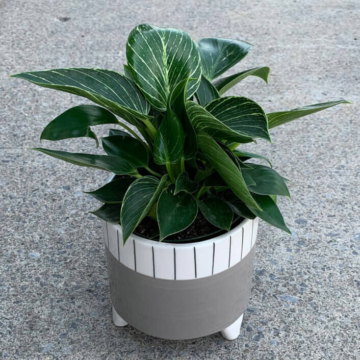 a Philodendron Birken plant in a grey and white pot