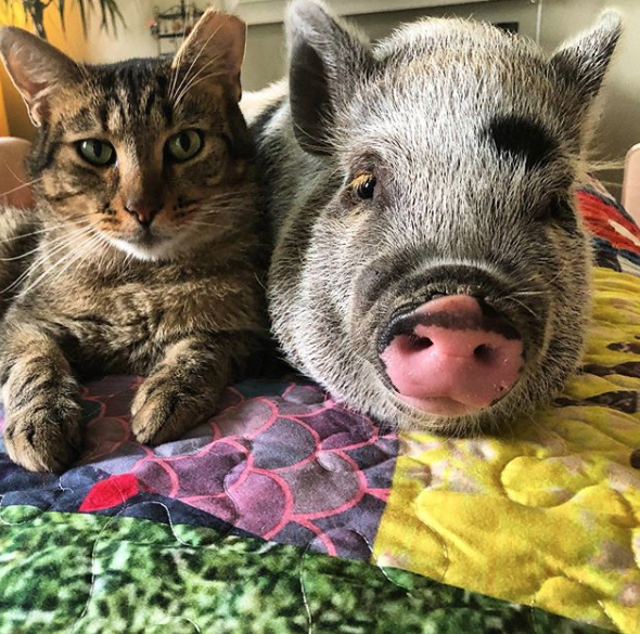 THe pig and the cat at Blue Dog Farm in Virginia