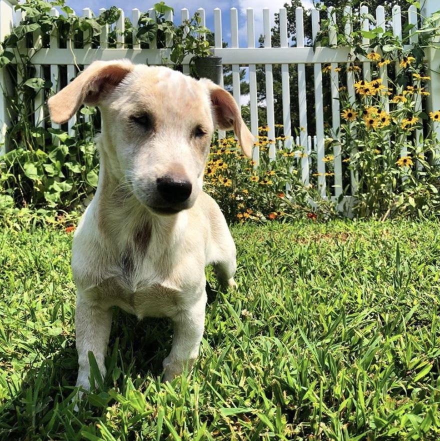 Remmi the WOnder Dog at Virginia's Blue Dog Farm