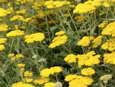 Blue Dog Farm grows Yarrow for it's products in Virginia