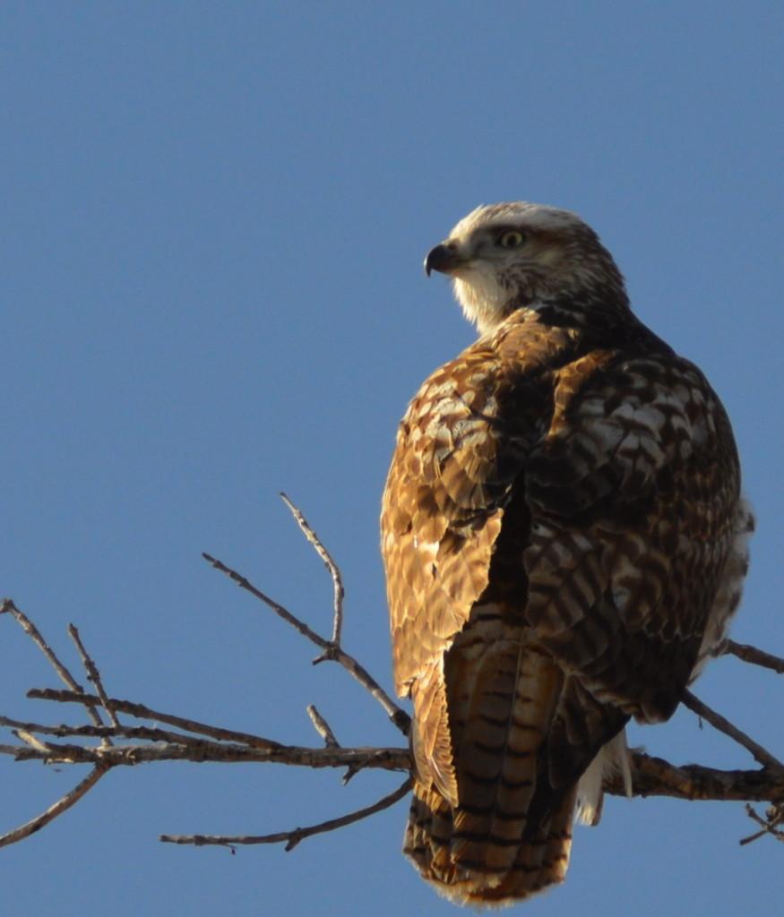 Colorado Hawk
