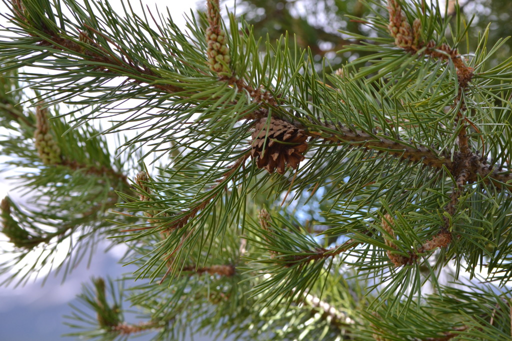 Pine Tree in Colorado