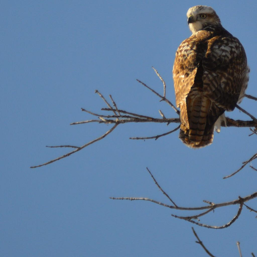 Colorado Falcon