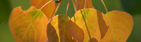 Colorado Fall Aspen Leaves