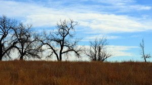 Colorado Oak