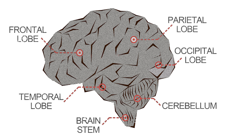 The executive function lives in a little chunk of your frontal lobe