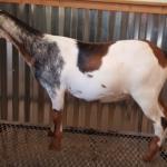 View Goat Trails Pixie