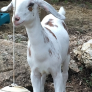 Sherwood Goat Farm