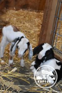 Mini Nubian Goat Kids