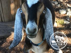 Goat Trails LF Blue Topaz